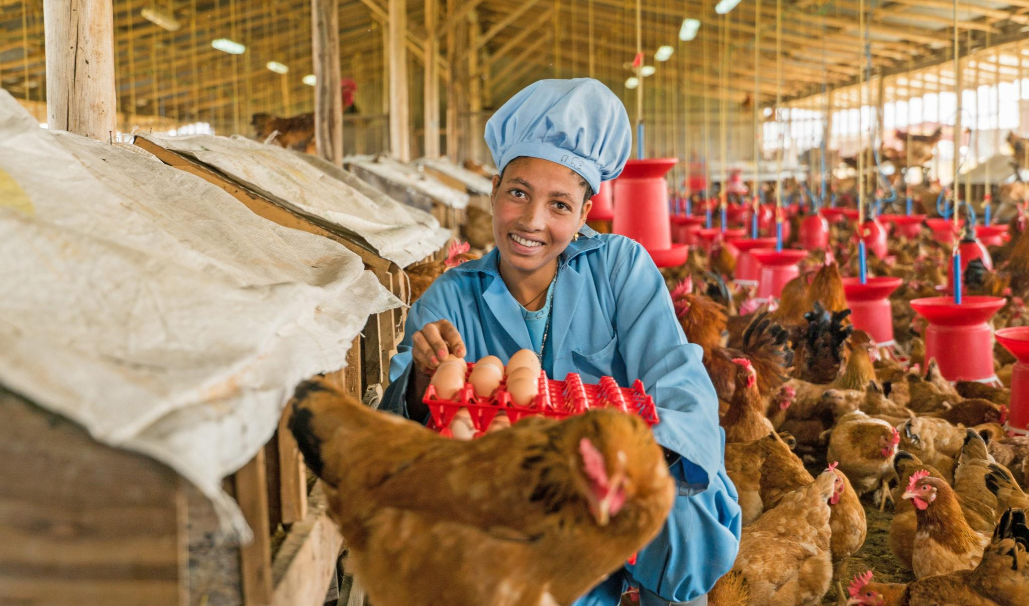 An employee of EthioChicken in a hen house holding an egg carton
